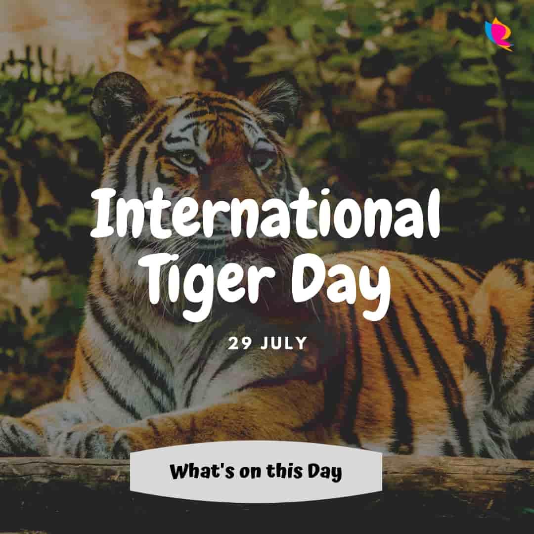 international tiger divas
